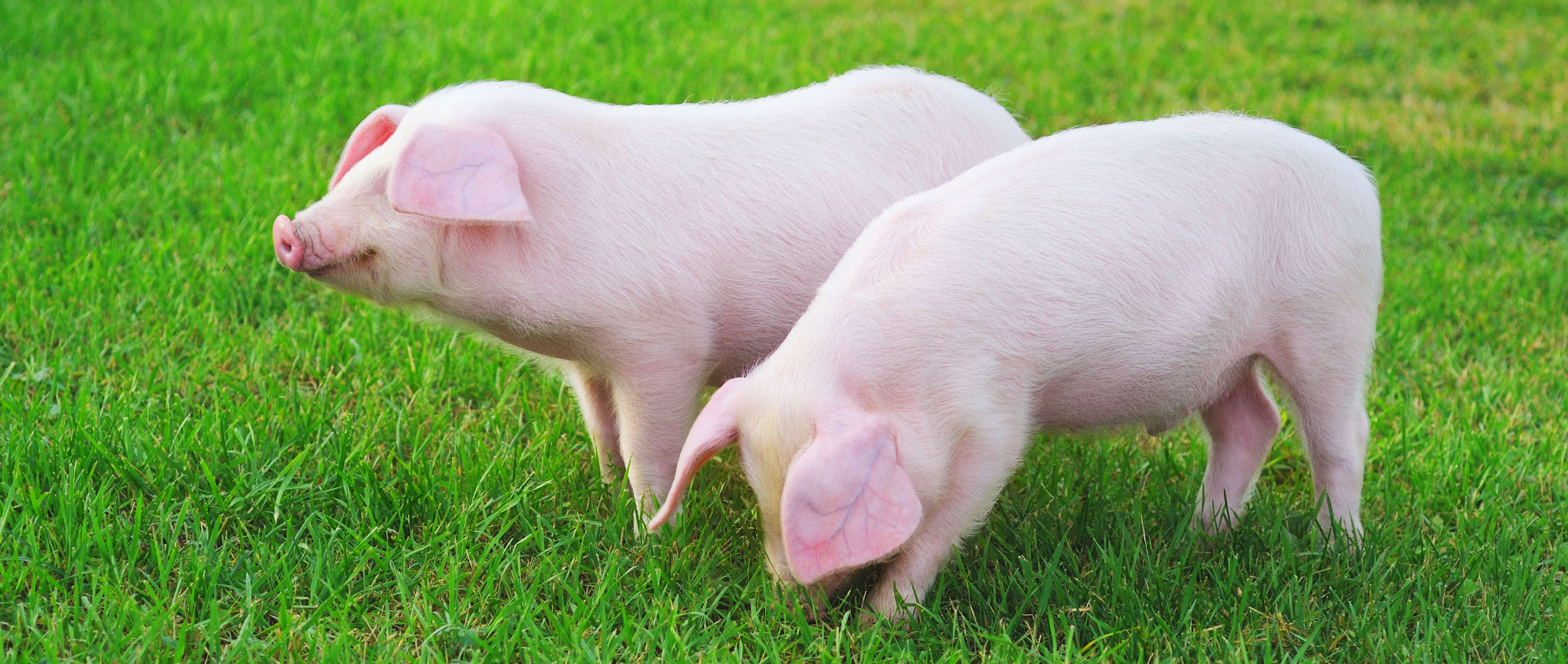 Two small pigs on a green grass